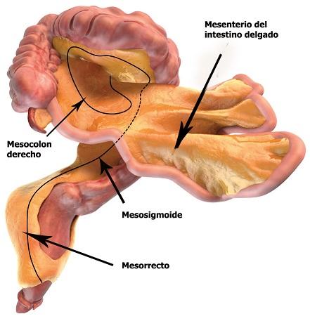 El mesenterio: estructura, función y mesenteriopatías - Artículos ...
